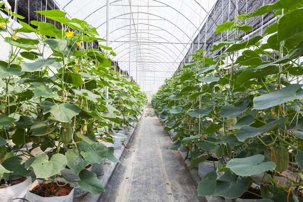 green cucumber field in greenhouse.