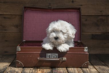 Traveling with a pet - puppy dog sitting in a suitcase - concept
