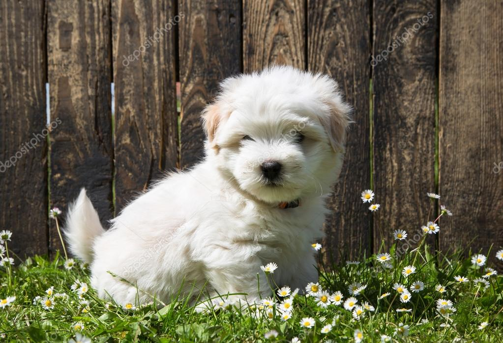 Dog Portrait Cute Baby Dog Puppy Coton De Tulear Stock Photo C Jeanette Dietl 47096383