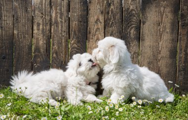 Big love: two baby dogs - Coton de Tulear puppies - kissing with