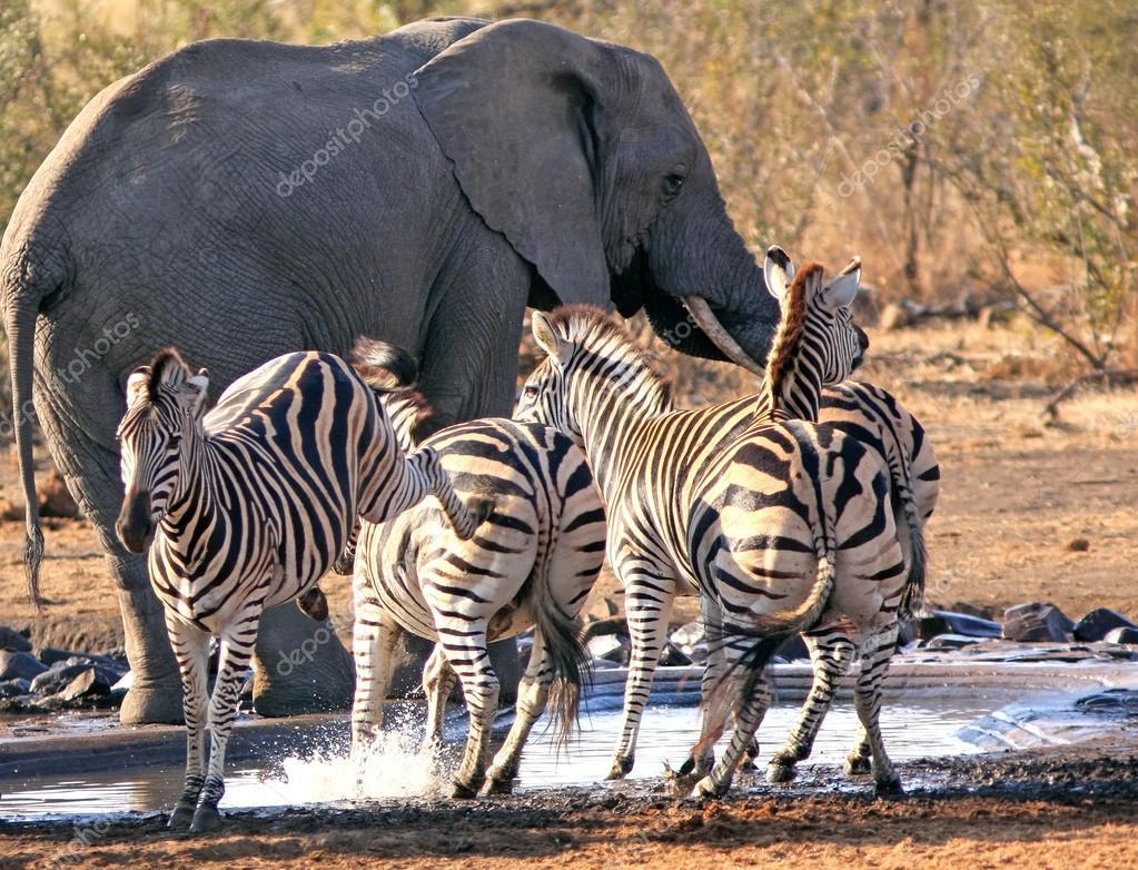 Thirsty wild animals