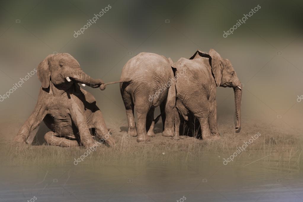 Wild african elephant