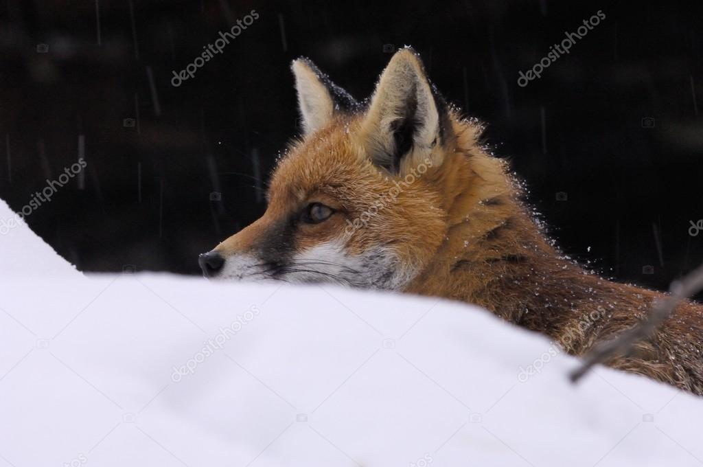 Vulpes vulpes, canidae, cogne, fox,