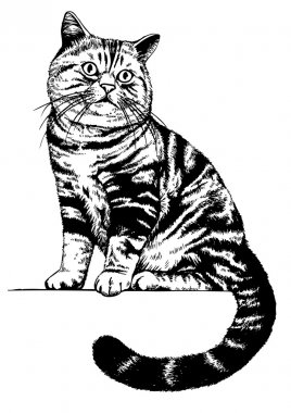 Scottish cat drawing