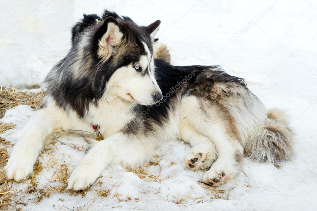 Purebred husky lying on snow