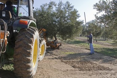 Farmer with a stick in an olive tree with a tractor in a field of olive trees