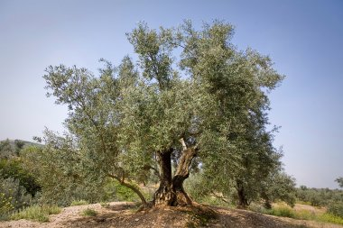Olive tree from the picual variety near Jaen