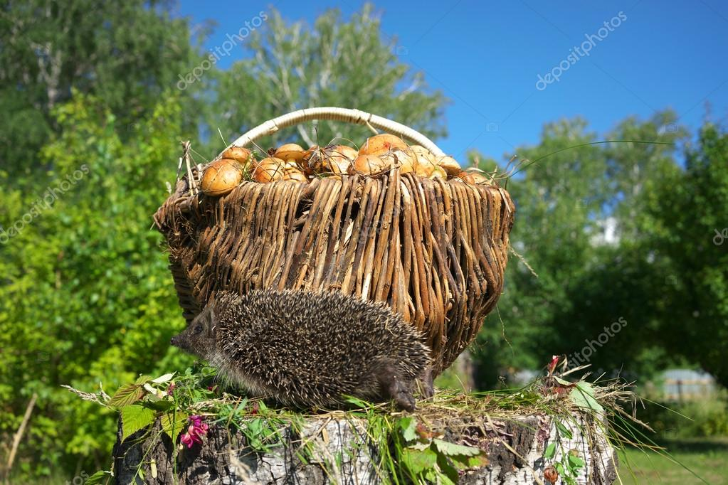 Hedgehog and mushrooms.