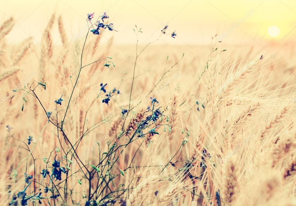 Vintage natural background, golden wheat field and summer flower