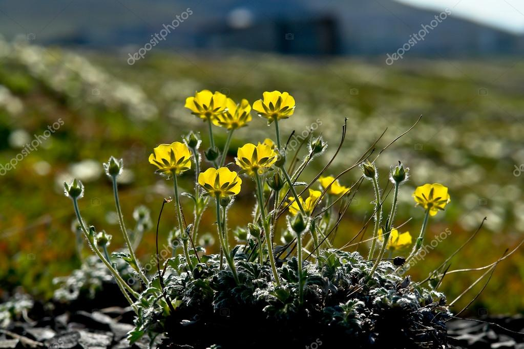 Arctic Chukotka. Flowers in the  tundra.