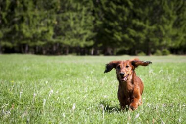 Young sausage dog runs toward in fresh green grass and forrest in the back