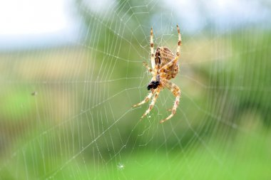European garden spider in its web