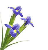 Bouquet of beautiful irises