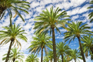 Blue sky palm trees in tropical summer