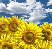 Pozadí abstraktní s slunečnice nad mraky modré oblohy