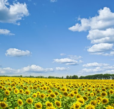 Sunflower field stock vector