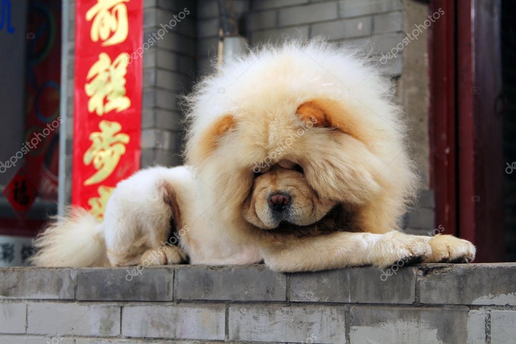 perro blanco chou chou foto de stock katoosha 35427891. Black Bedroom Furniture Sets. Home Design Ideas