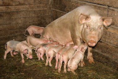 pig with piglets in the barn