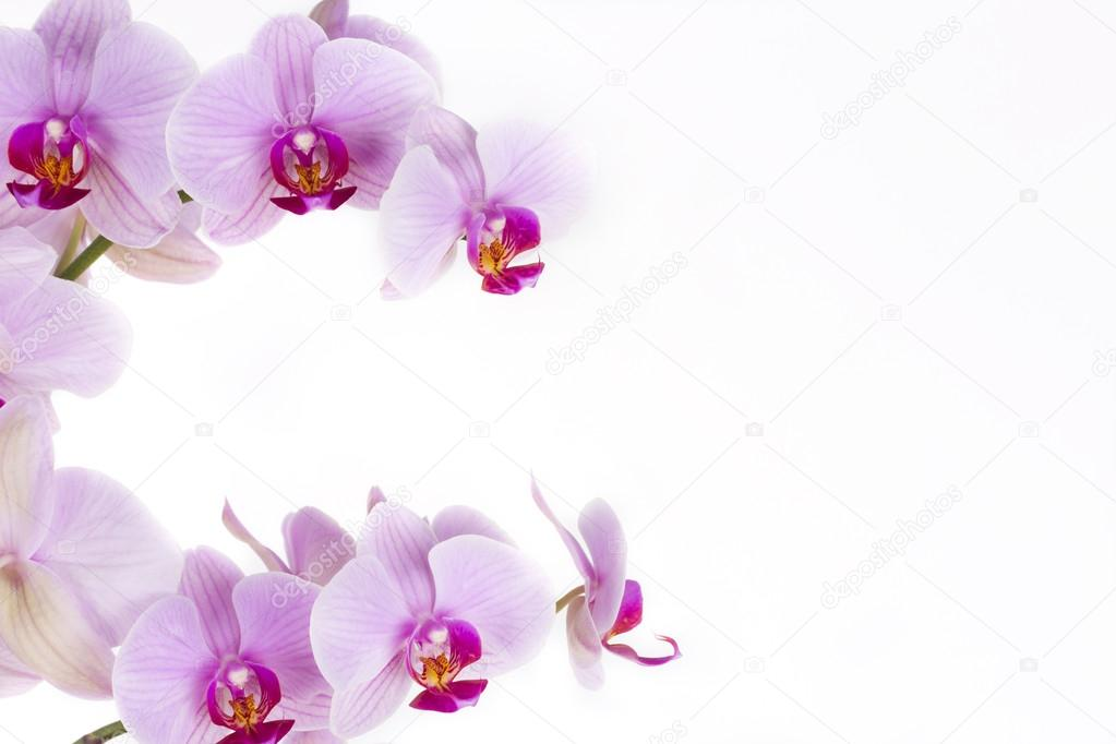 Orchid, a background