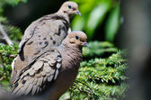 Smuteční dove s rozcuchané peří