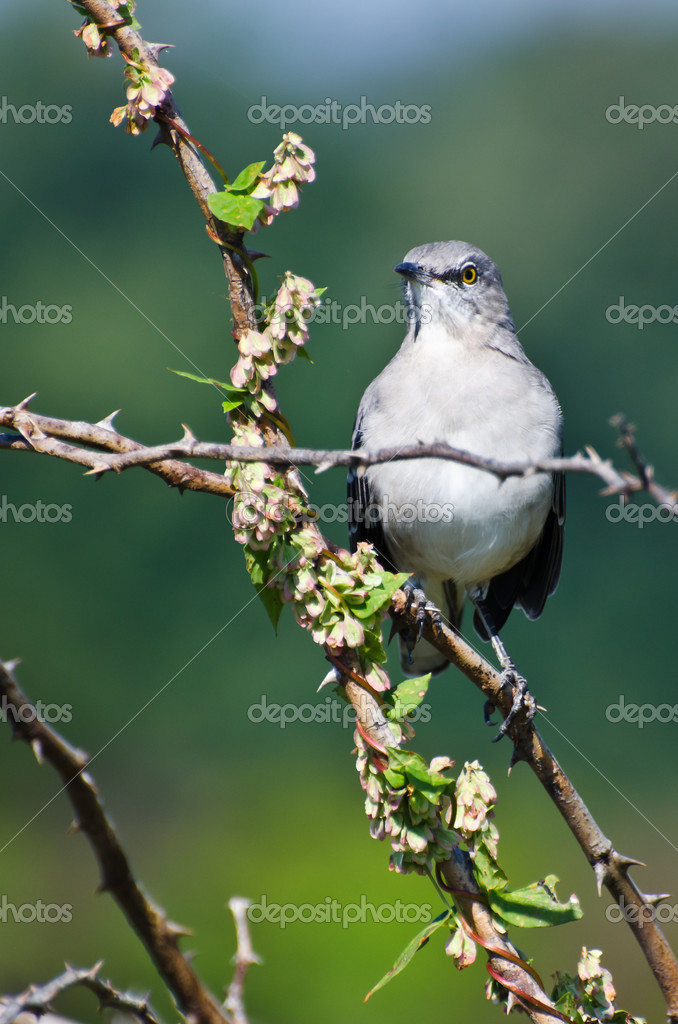 northern mockingbird perched in a tree stock photo 39667341 - Mocking Bird Download