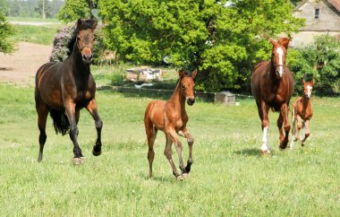 Running horses with foals