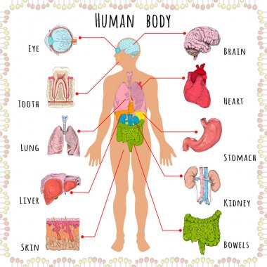 Human body medical demographic
