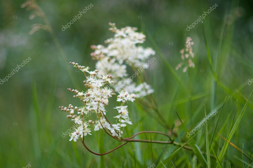 Fiori Selvatici Bianchi.White Wild Flowers Stock Photo C Riccardocolombo 47041033