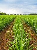 Sugarcane row
