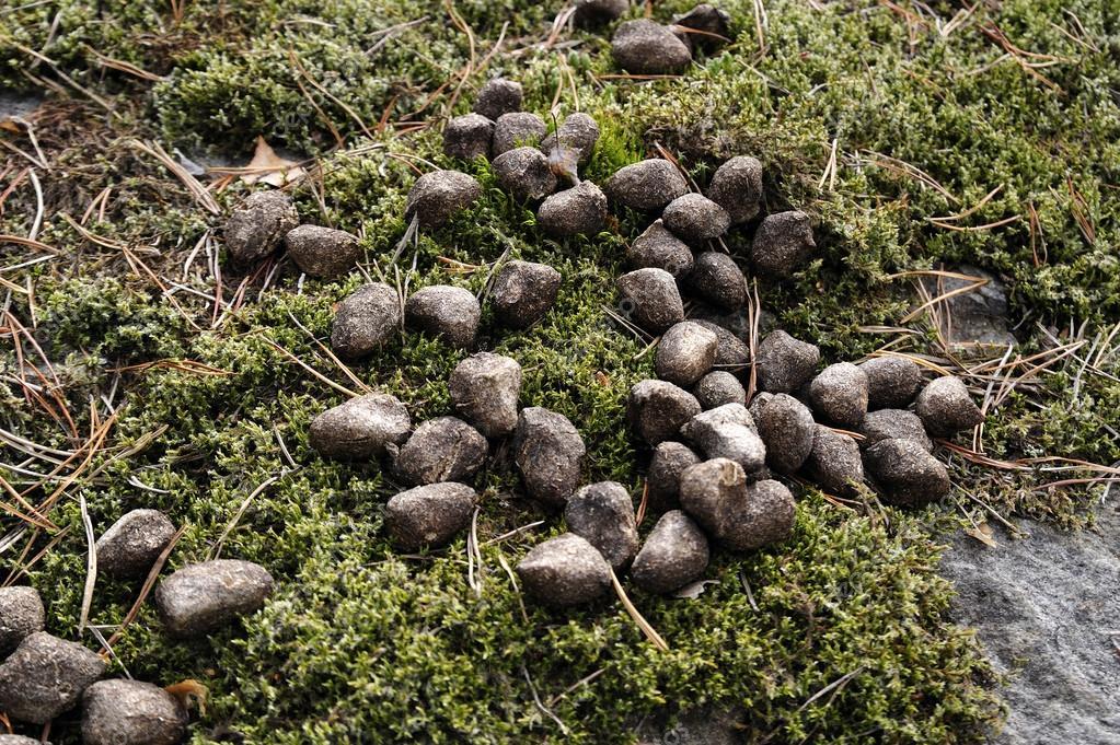 Crottes de cerf photographie a40757 39302605 - Kot im garten von welchem tier ...