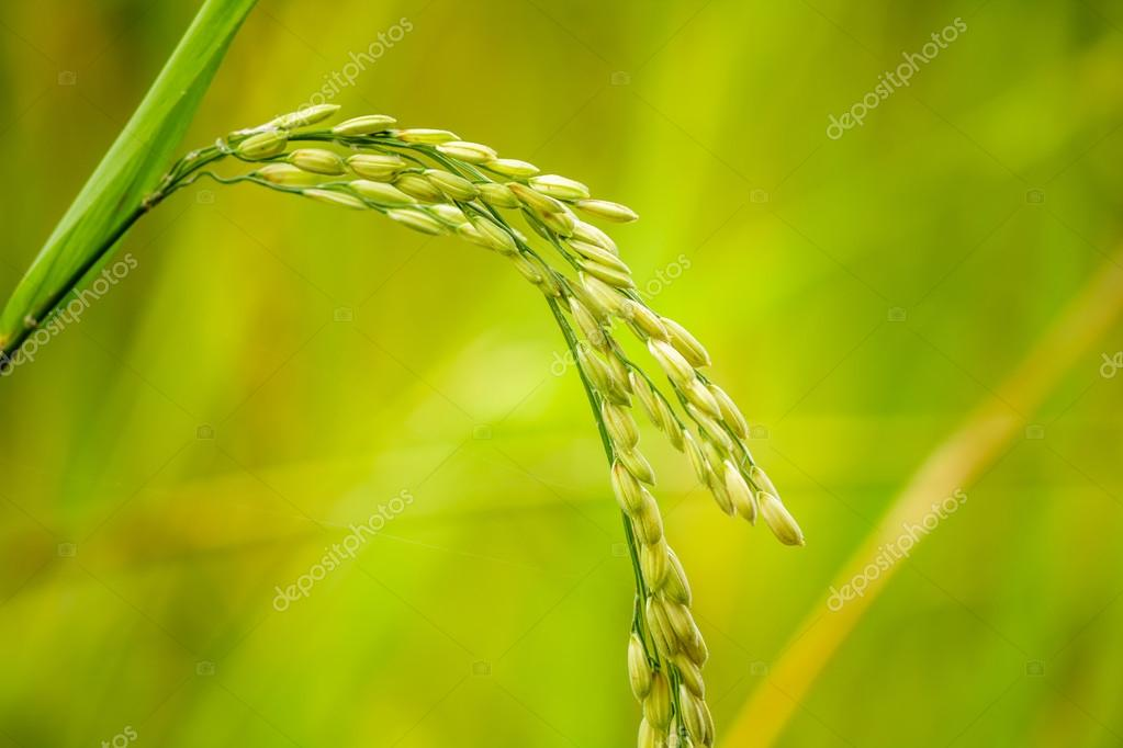 Close up of paddy rice