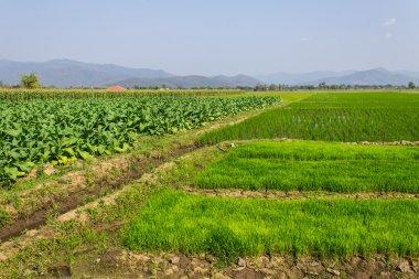Tobacco Plants, Rice Field And Corn