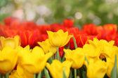 Színes tavaszi virágok a tulipán