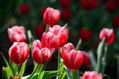 Campo di tulipano rosso