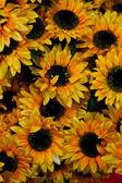 close up of a beautiful sunflower