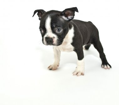 Boston Terrier Puppy Saying