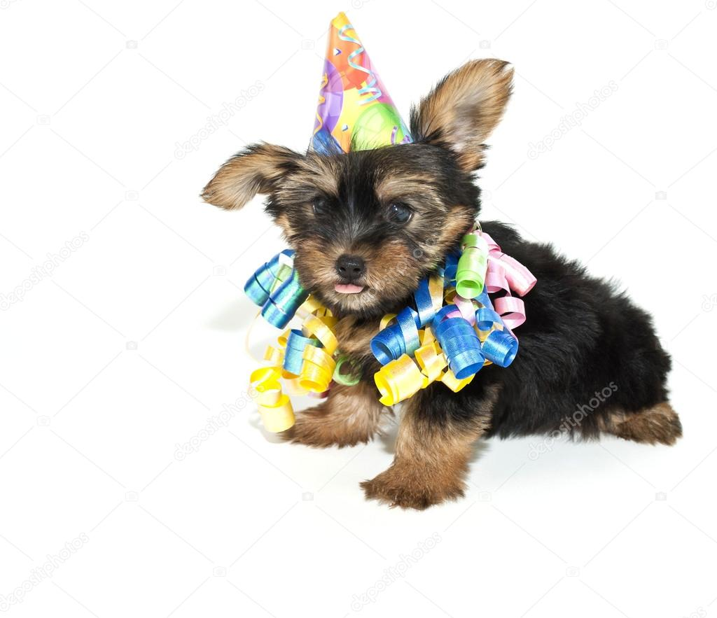 Geburtstag Yorkie Welpen Stockfoto C Jstaley401 35515197