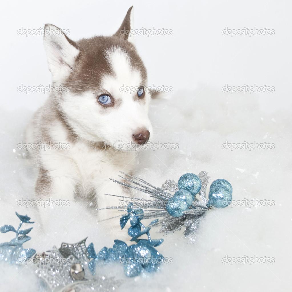 Husky Christmas Puppy.Christmas Husky Puppy Stock Photo C Jstaley401 35515905