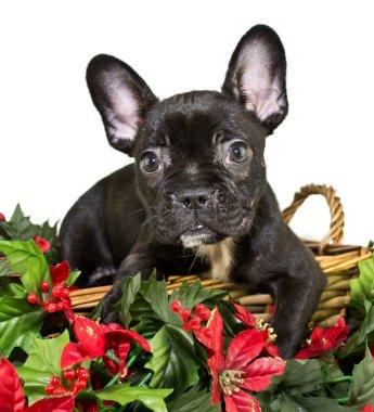 Christmas Frenchie