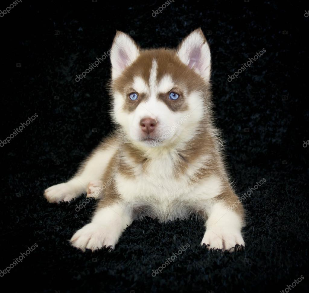 Red Husky Puppy Stock Photo Jstaley401 40372051