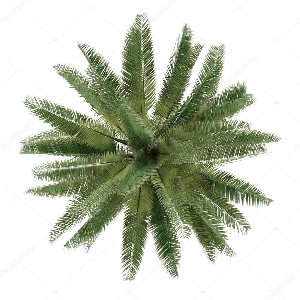 Palm tree isolated. Jubaea chilensis top view