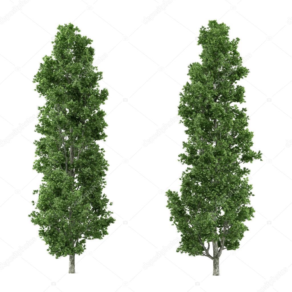 Tree isolated. Populus