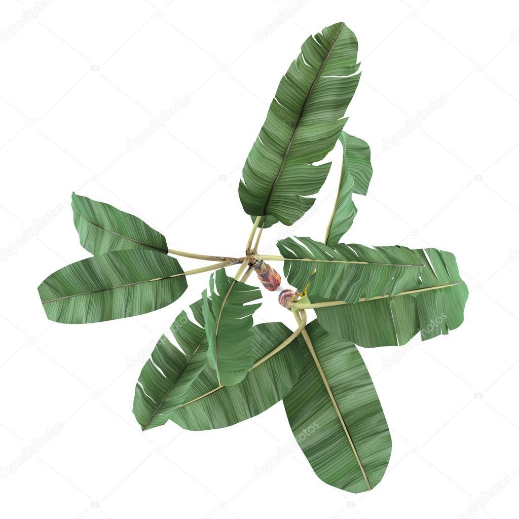 Palm plant isolated. Musa acuminata banana top