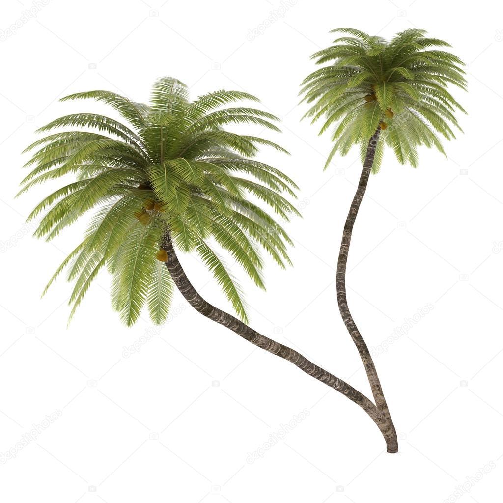 Palm tree isolated. Cocos Nucifera