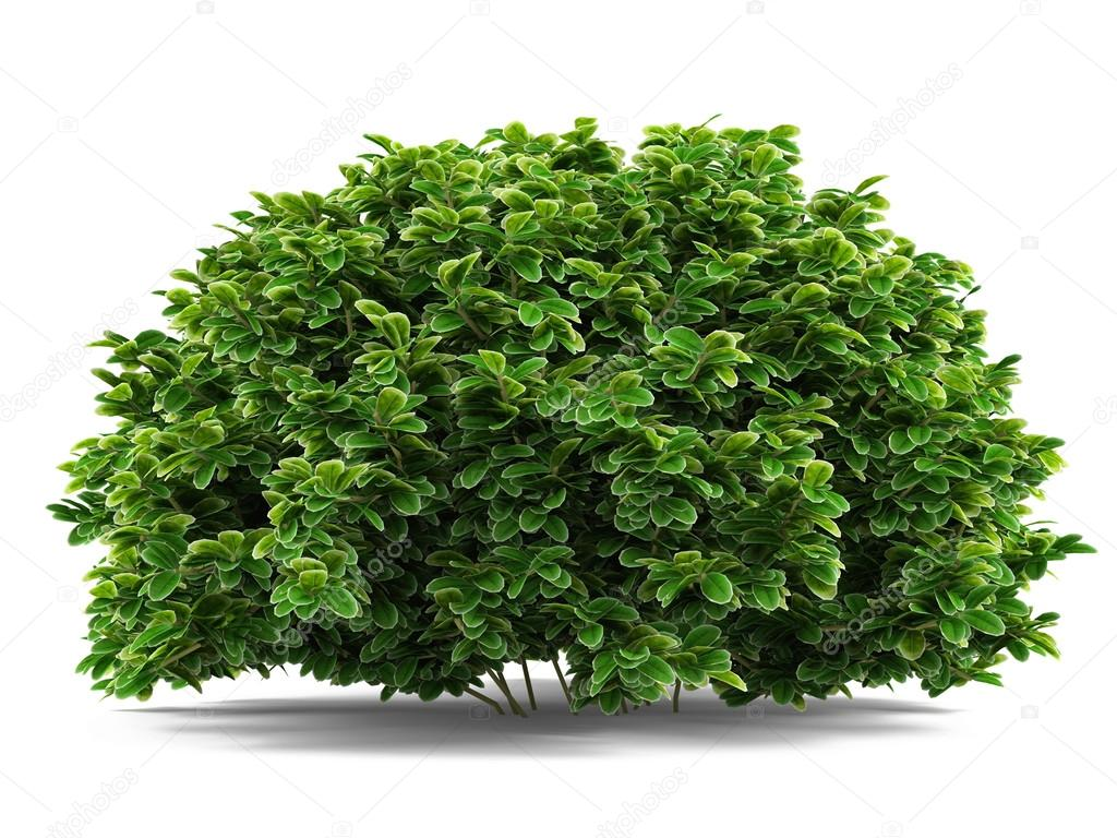 Plant bush isolated.