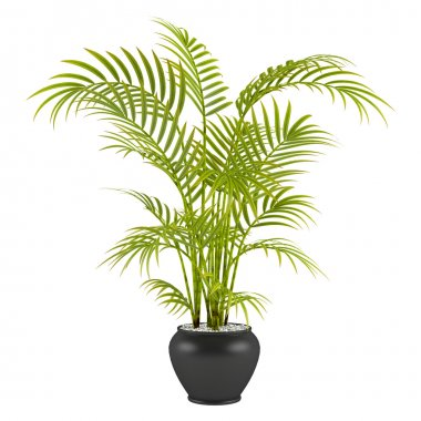 Palm in the pot