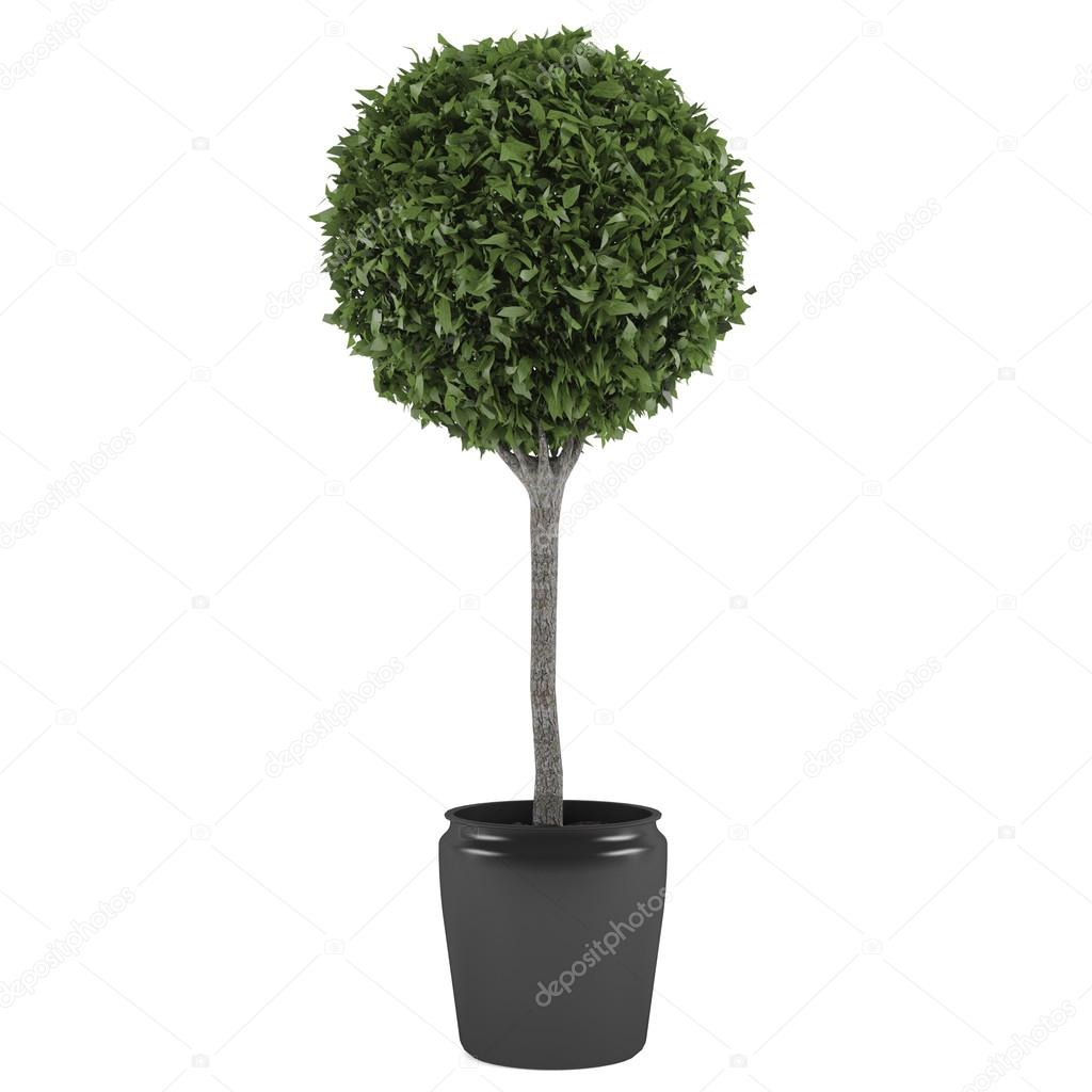 Topiary tree pot at the white background