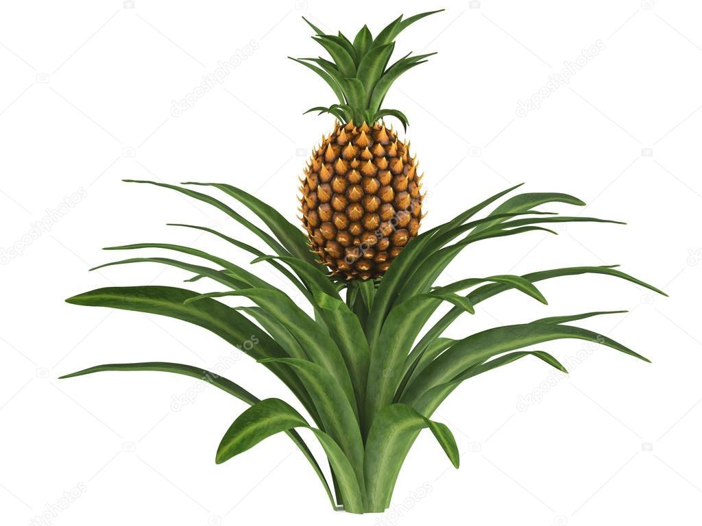 ananas busch stockfoto denyshutter 38615043. Black Bedroom Furniture Sets. Home Design Ideas