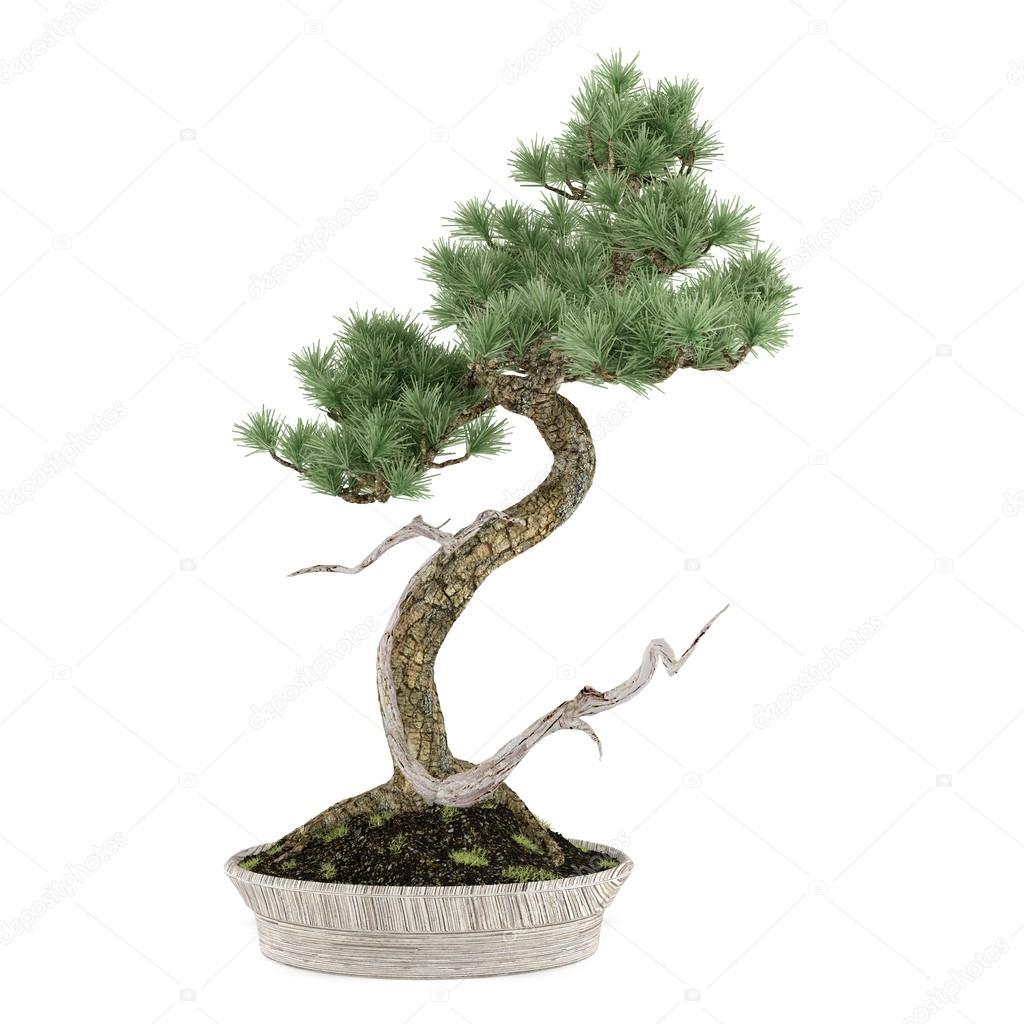 pot d 39 arbre bonsa pin exotique photographie denyshutter 40704527. Black Bedroom Furniture Sets. Home Design Ideas