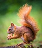 Fotografie Squirrel